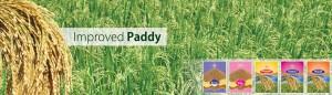 2 - Paddy