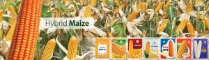 3 - Maize